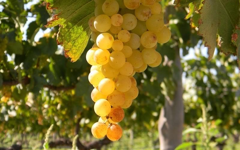 Burbujas de Altura • Proceso: Cosecha de uva de primera calidad